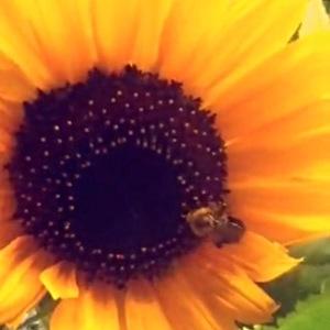 IMG_3167Sunflower and bee